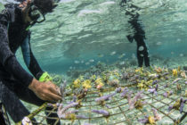Indonesian Dynamite Fishers Turn to Coral Restoration