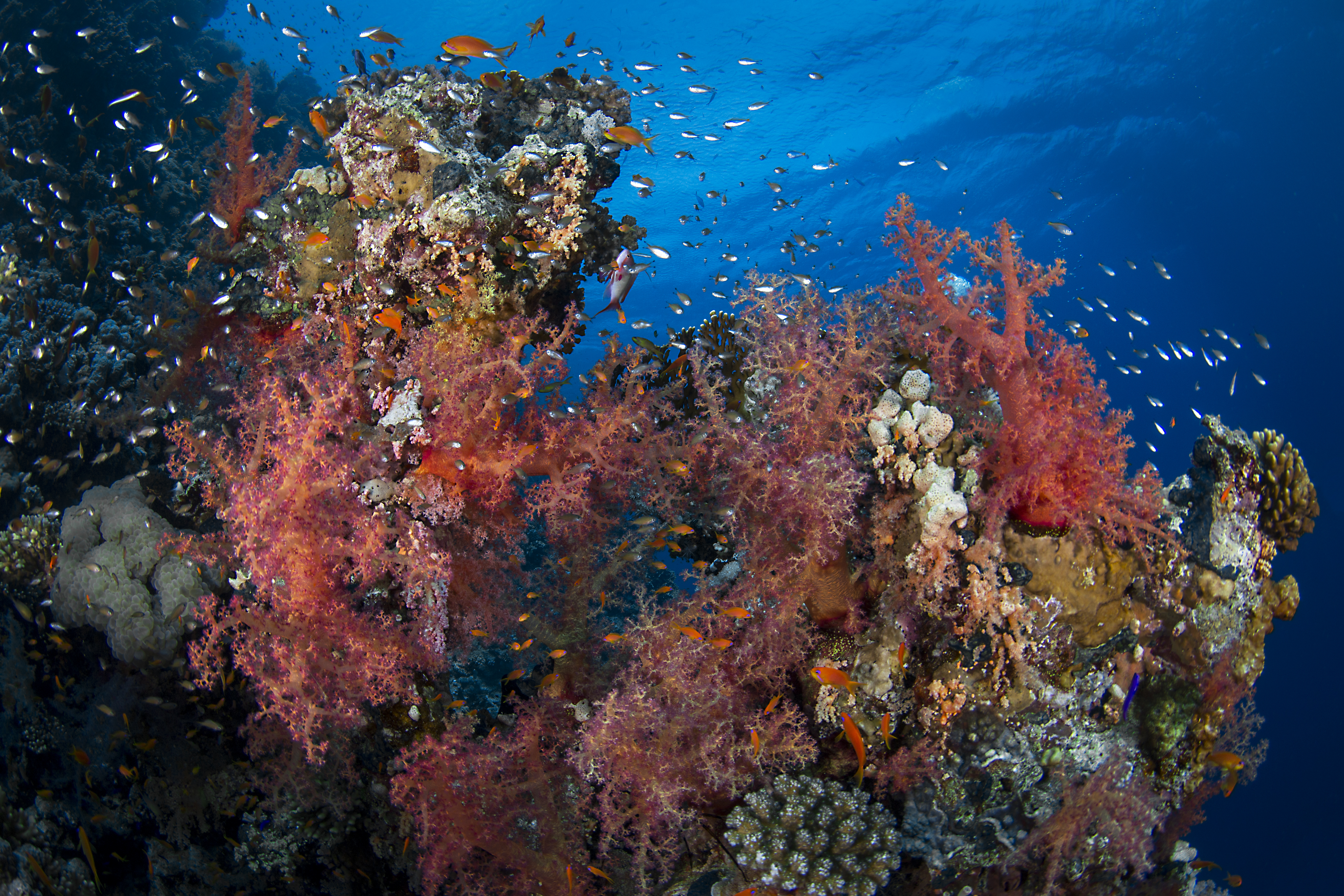 The fate of coral reefs at stake as key UN talks begin in Egypt: New global coalition urges action to save reefs